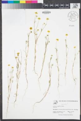 Image of Lasthenia gracilis