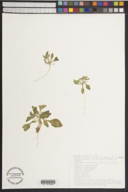 Oryctes nevadensis image