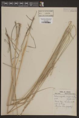 Image of Calamagrostis inexpansa