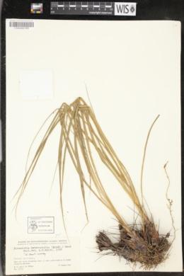Pitcairnia heterophylla image