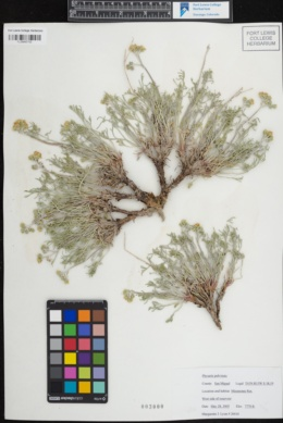 Physaria pulvinata image