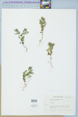 Stevia micrantha image