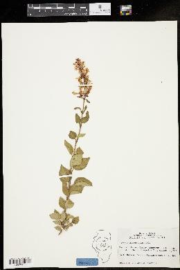Syringa microphylla image