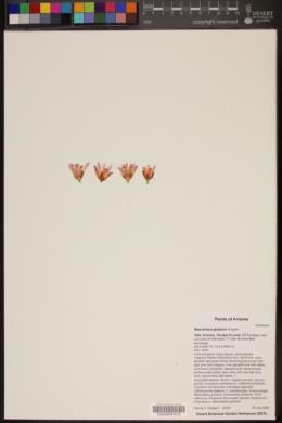 Mammillaria grahamii image