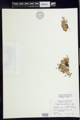 Image of Cerastium bialynickii
