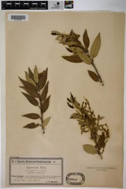 Quercus ilex image