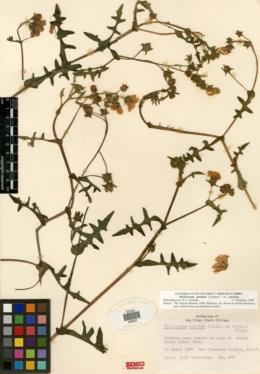 Pholistoma auritum image
