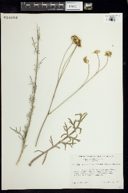 Thelesperma trifidum image