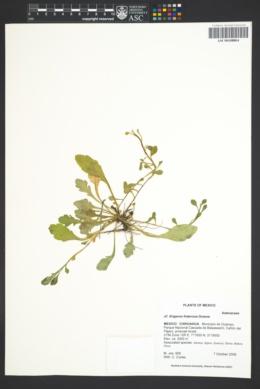 Image of Erigeron fraternus