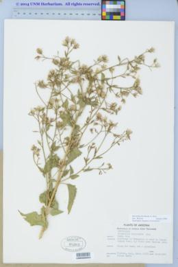 Brickellia floribunda image