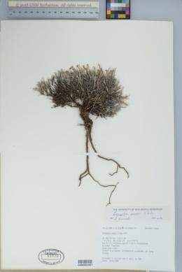 Paronychia sessiliflora image