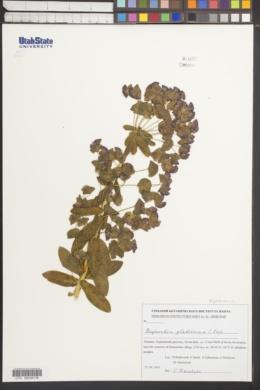 Image of Euphorbia glaberrima