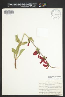 Penstemon eatonii subsp. eatonii image