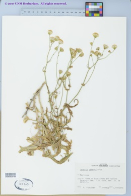 Senecio lemmonii image