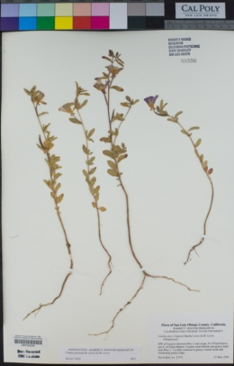 Clarkia prostrata image