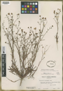 Malacothrix similis image