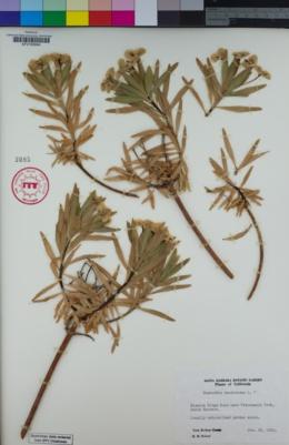 Euphorbia dendroides image