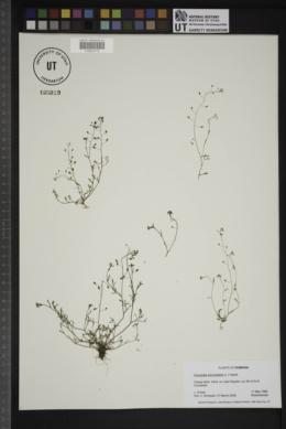 Hornungia procumbens image