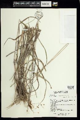 Image of Sorghum trichocladum