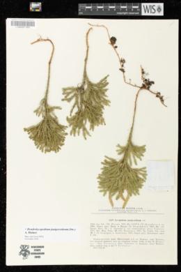 Dendrolycopodium juniperoideum image