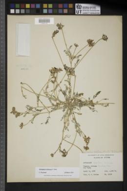 Astragalus gentryi image