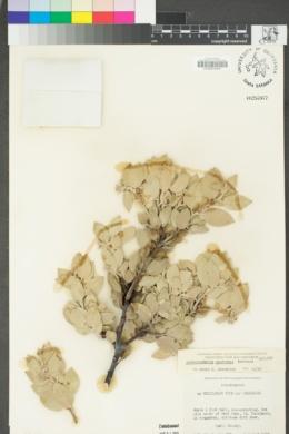 Arctostaphylos canescens image