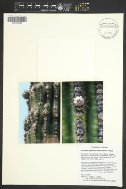 Carnegiea gigantea image
