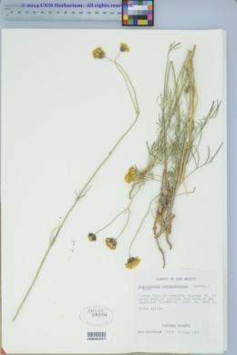Thelesperma megapotamicum image
