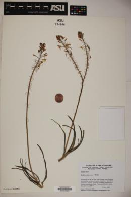 Bulbine frutescens image