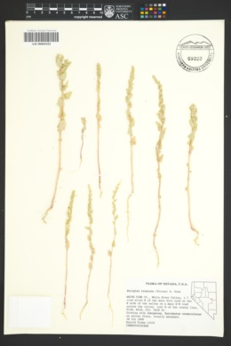 Image of Atriplex truncata