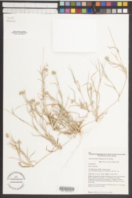 Dactyloctenium radulans image