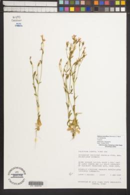 Image of Zeltnera breviflora