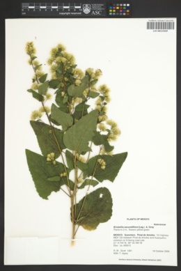 Image of Brickellia secundiflora