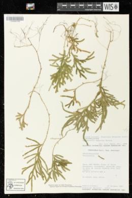 Image of Selaginella asperula