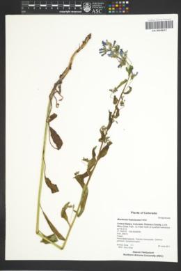 Mertensia franciscana image