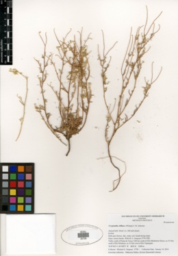 Image of Cryptantha diffusa