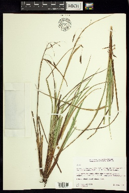 Image of Carex spilocarpa