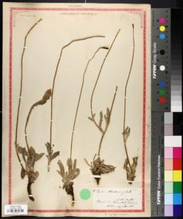 Image of Papaver atlanticum