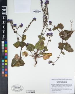 Phacelia calthifolia image