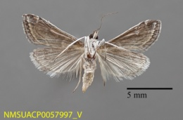 Pyrausta napaealis image