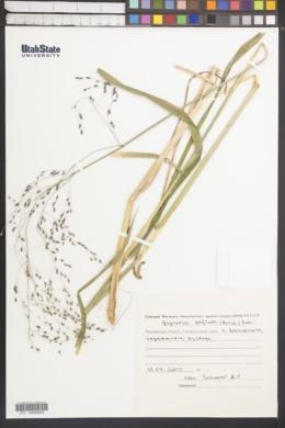 Image of Glyceria arundinacea