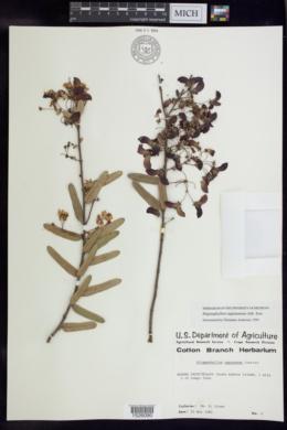 Stigmaphyllon sagraeanum image