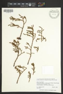 Arceuthobium hawksworthii image