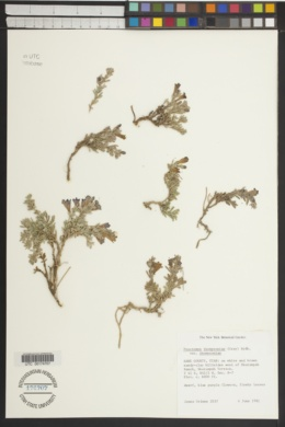 Penstemon thompsoniae image