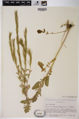 Barbarea vulgaris var. vulgaris image