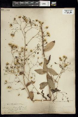Image of Hieracium paniculatum