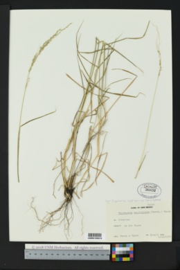 Digitaria californica image