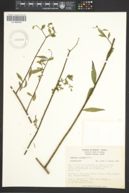 Image of Euphorbia orizabae