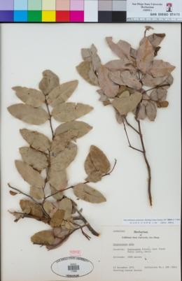 Cryptocarya alba image