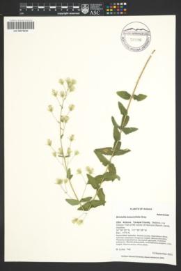 Brickellia betonicifolia image